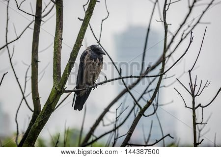 A Hooded crow sitting on tree branch