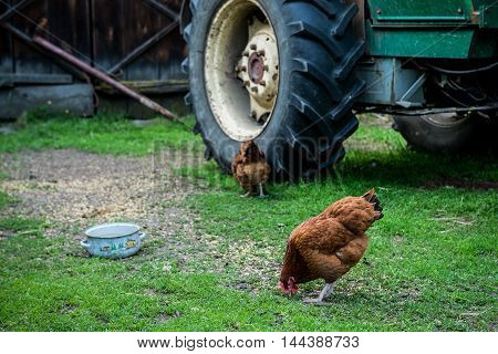 hen on a free range chicken farm in a village in Poland