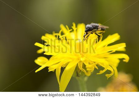 fly collects nectar in the flowers in the park during summer day