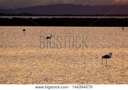 Flamingos at sunrise in Etang de Vaccares near Saintes-Maries-de-la-Mer Camargue France