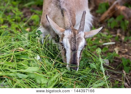 Adult Alpine goat breed eats green grass mown.