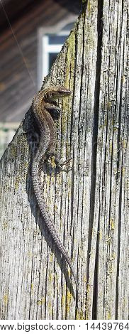 Lizard crawling on board wooden fence. Close-up.