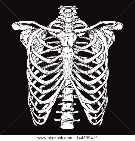 Human Ribcage Line Art Anatomically Correct