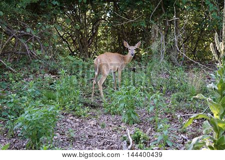 Buck deer in the wild, woods, forest
