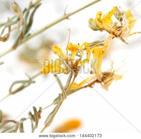 picture of a Hypericum flowers Hypericum perforatum or St John's wort
