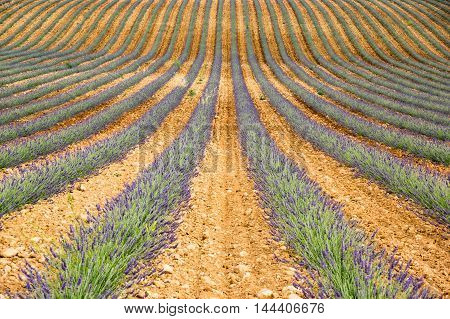 Field of lavender at plateau de Valensole France