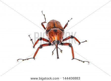 Snout Beetle Isolated On White Background