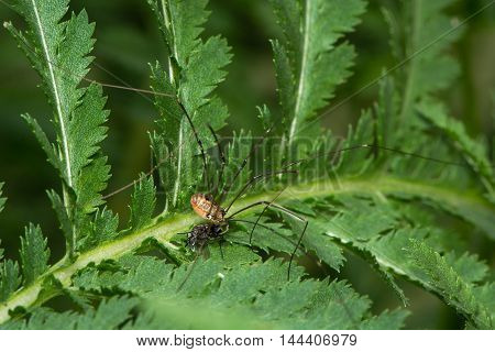 Leiobunum rotundum harvestman spider eating fly prey. Female arachnid in the order Opiliones family Sclerosomatidae feeding on small fly