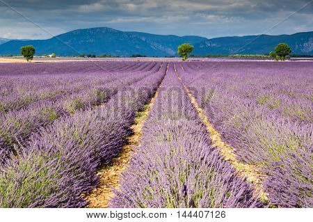 Filed of Lavender at plateau de Valensole France