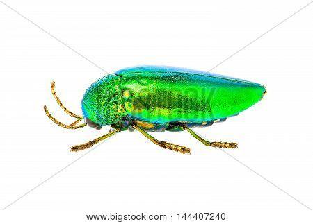 Jewel Beetle Isolated On White Background