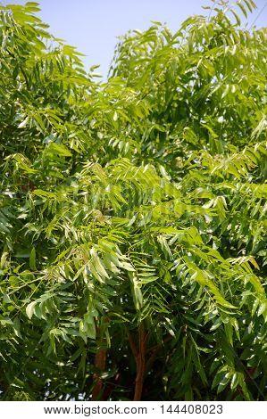 fresh green Neem plan tree in garden, Azadirachta indica