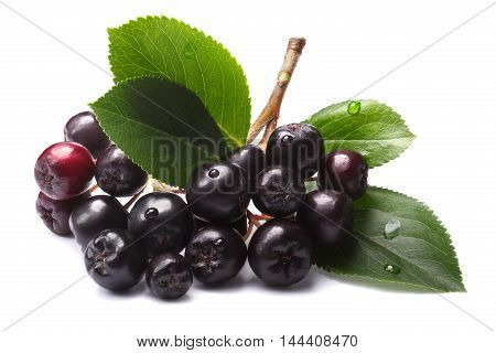 Aronia Melanocarpa (black Chokeberry), Paths
