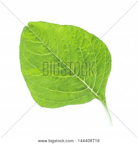 Spinach Leaf Back Vein Close Up