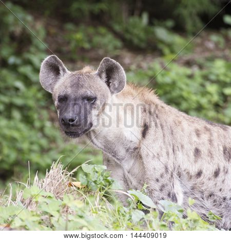 Closed up Spotted a Hyena watching something