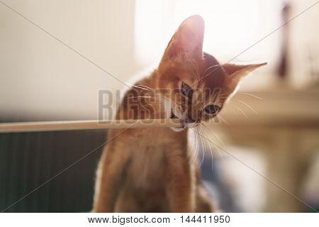 abyssinian kitten bites wood stick, shallow focus grainy photo