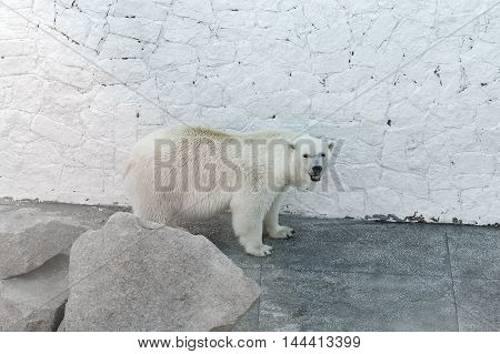 polar bear standing behind a large stone