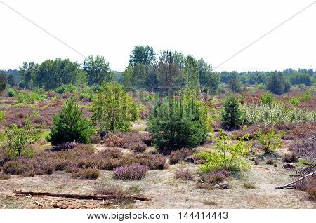 dry and flowering heather landscape in hot summertime