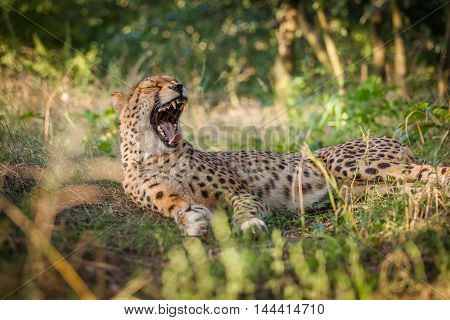 Cheetah on a walk in nature closely Viewing surroundings