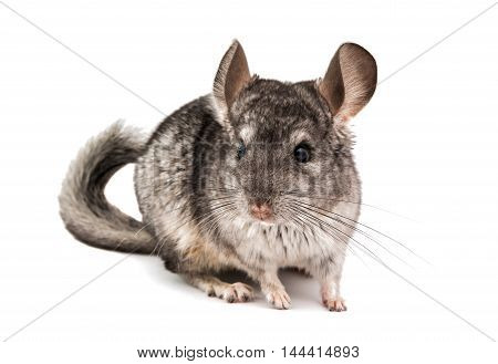 Chinchilla petite mouse on a white background