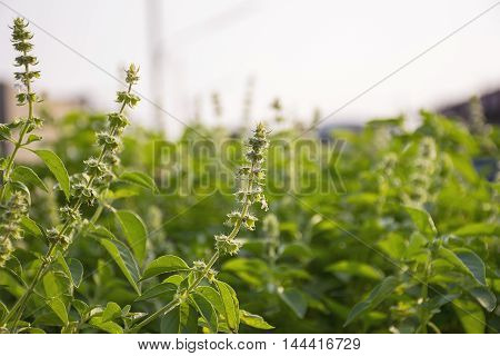 A Lemon basil flowers on nature background.