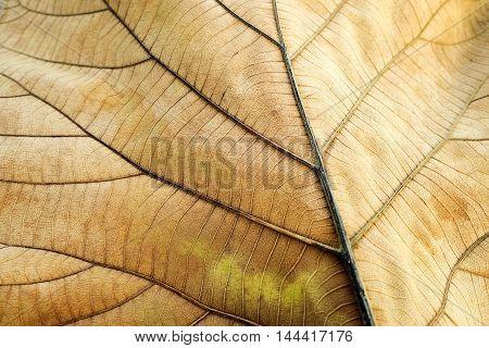 Brown dried leaf. Texture of teak leaf show detail of leaf in background (selective focus)