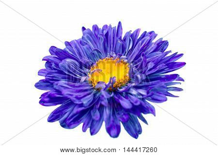 aster daisy flower on a white background