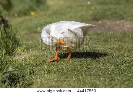 Pekin duck sitting on the grass by a river, preening