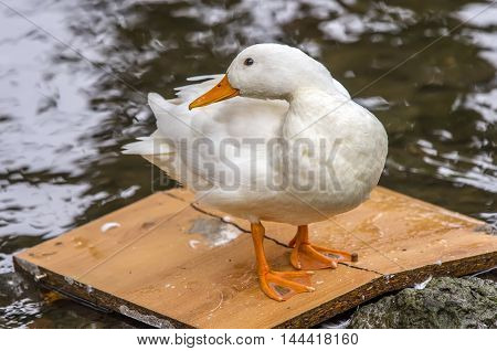 Pekin Duck, Standing On A Bit Of Wood In A River