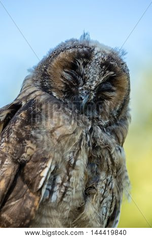 Close Up Of Young Scops Owl In Balagne Region Of Corsica