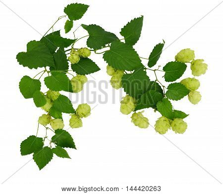 Young branches with cones and hop leaves isolate on white background without shadows. Brewing. Ingredients. Medicinal plants. Medicine. Nature.