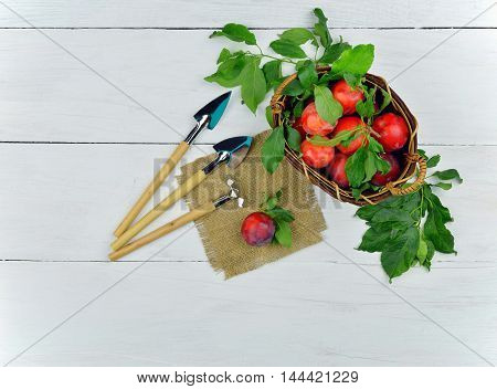 Ripe plums in a basket and garden tools on a wooden light background. Top view. Agriculture. Garden. Horticulture. Rural labor. Hobby.Summer. Autumn. Crop.