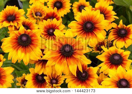 A group of Rudbeckia flowers, the variety is Summerina Yellow
