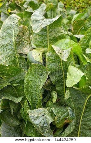 A close up of green horseradish leaves.