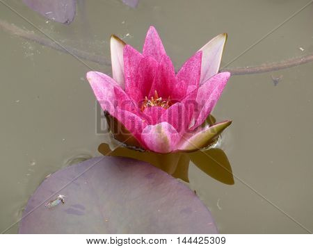 Developing pink water lily on the water