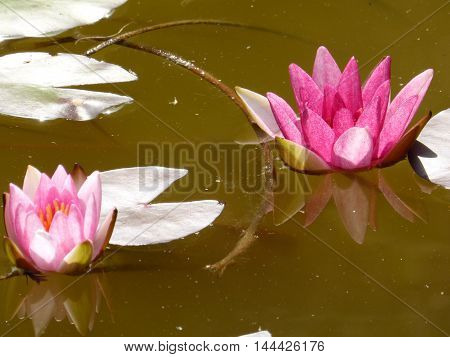 Two pink water lilies and three white leaves