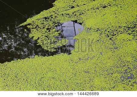 Green duckweed background. Aquatic plants in water