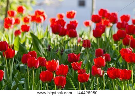 Spring flower bed in the park with red tulips