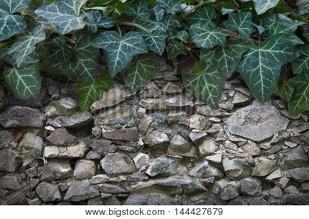 background wall from a large stone with green ivy at the top