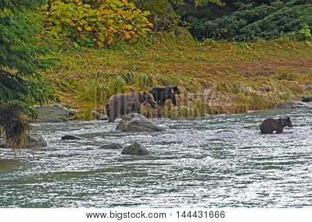 Mother Bear with her Cubs on the Shore near Haines Alaska