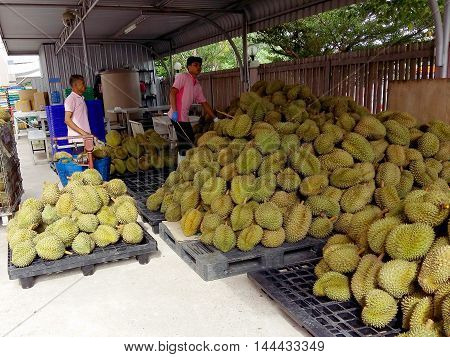Samutsakhon Thailand - August 03, 2016 :durian Growers Durian Is Preparing To Pay Out According To M