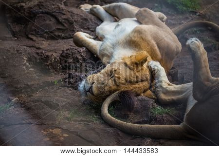 Lion relaxing on the stone ground
