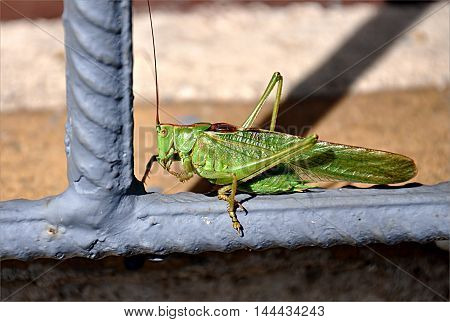 Detailed view of the big green grasshopper day