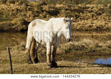 Beautiful white stallion standing still next to a small pond or lake