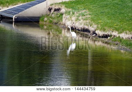A great egret (Ardea alba) hunts for fish in a small lake in Joliet, Illinois.