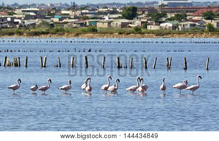 Flamingos standing in deep salt water with a township in the background