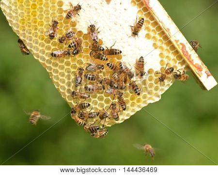 bees on honeycomb in apiary in the summertime