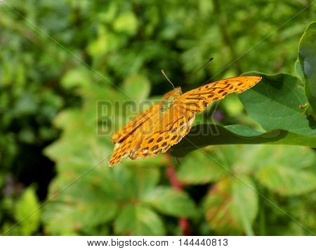Butterfly on meadow plant in wild nature during spring