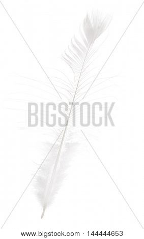 long peacock feather isolated on white background