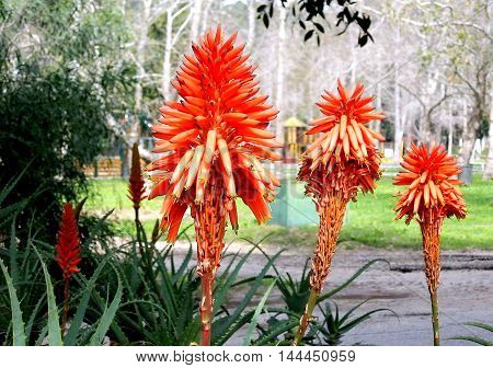Beautiful Red Aloe flowers in park in Ramat Gan Israel