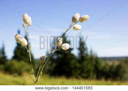 Flowers Of Silene Vulgaris
